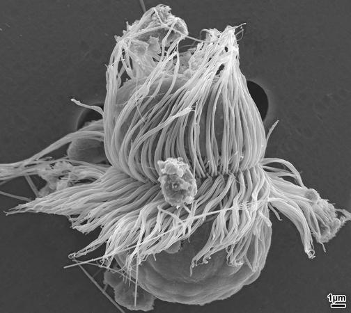 Mesodinium chamaeleon