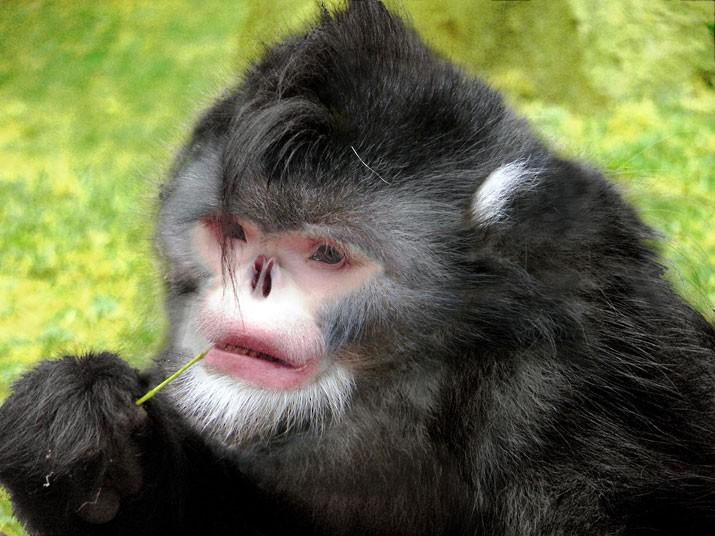 aksıran maymun-gerçek bilim