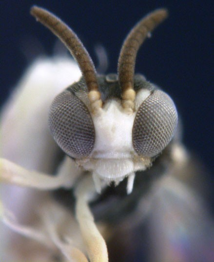 sarı arı