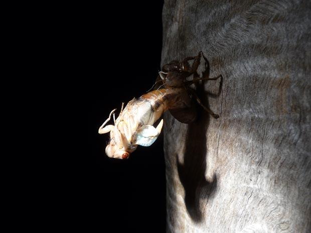 ağustos böceği-6