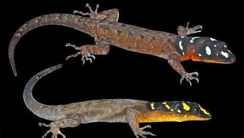 Cercosaura hypnoides ateş desenli kertenkele