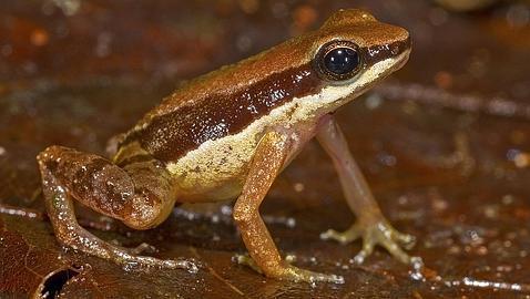 tırnak büyüklüğünde kurbağa-gerçek bilim