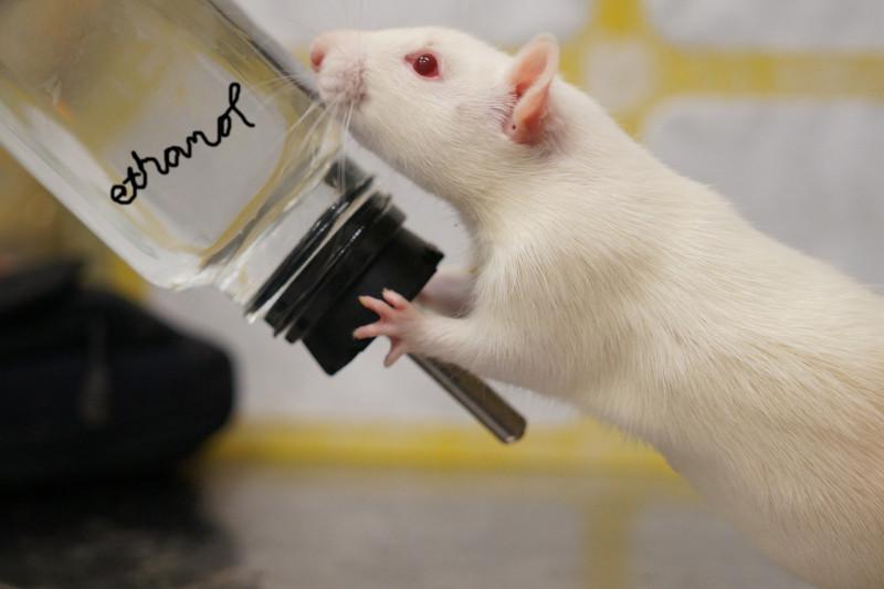alkolik fare