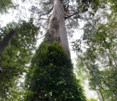 ağaç boyu-gerçek bilim
