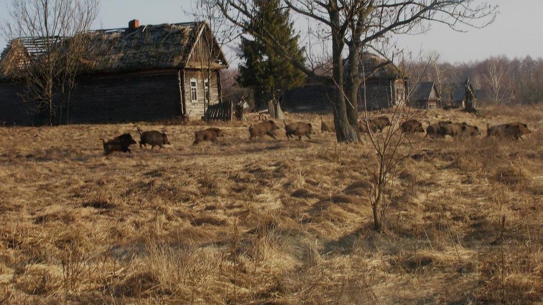 çernobil hayvanlar