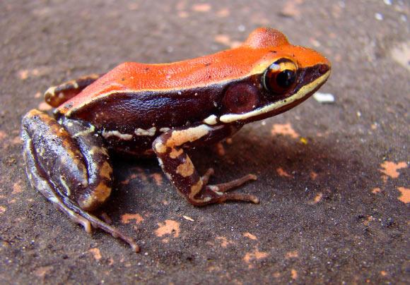 Kurbağa Derisi Salgısı H1 Grip Virüsünü Öldürebiliyor