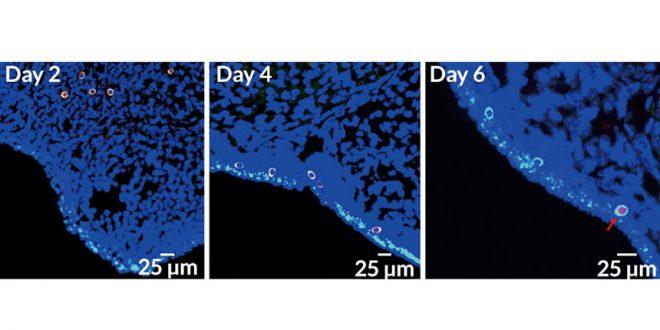 Kısır Fareler Kök Hücre Sayesinde Yeniden Doğurdu