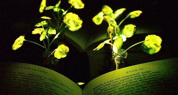 Bilim İnsanları Ateş Böceği Enzimiyle Bitkilere Işık Özelliği Kazandırdı