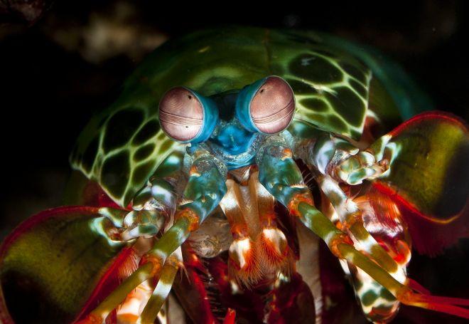Züppe Mantis Karidesi