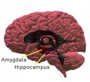 hippocampus-amygdala