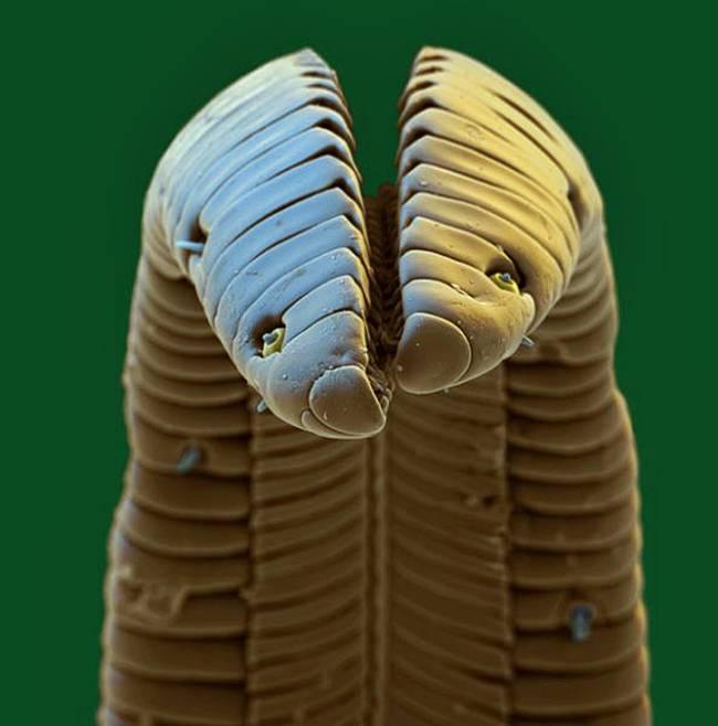 sinek kuşunun tırnağı-mikroskop