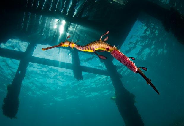 otlu deniz ejderi-1