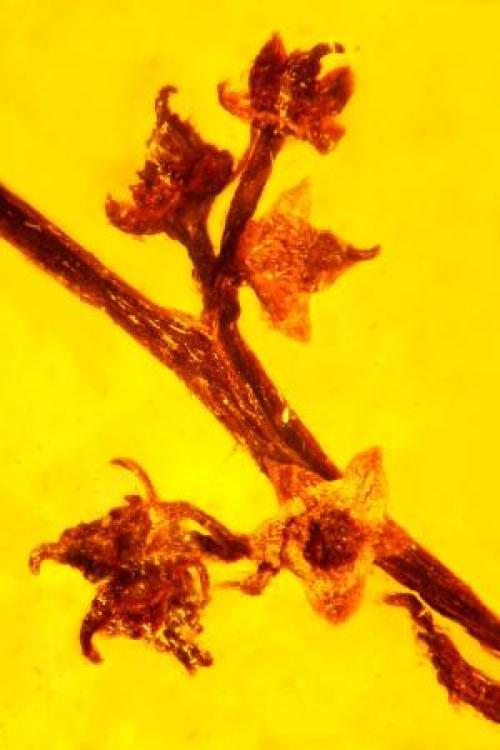 100 milyon yıllık amber