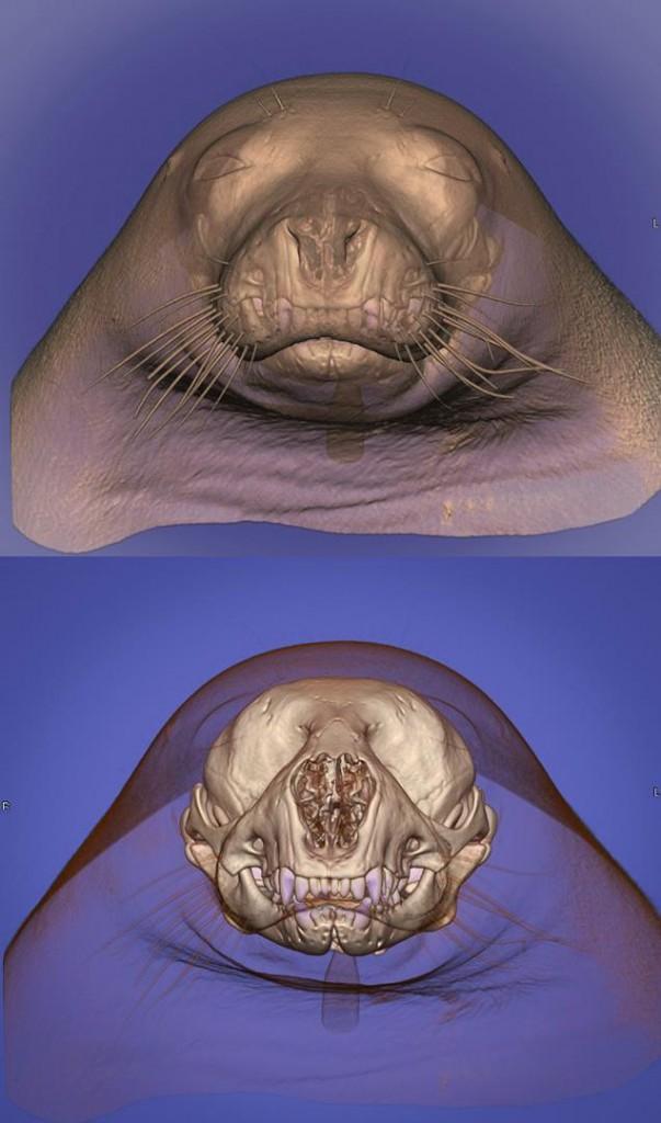 fok kafası