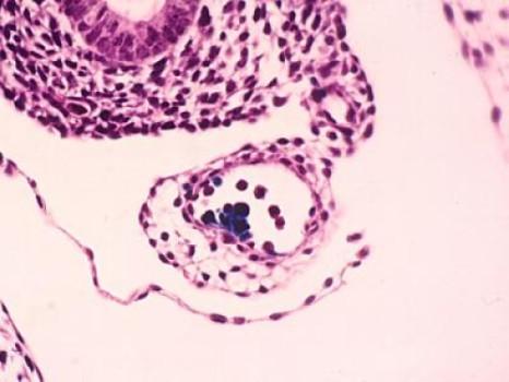 Mavi Hücreler Fare Embriyosundaki hematopoietik kök hücreler