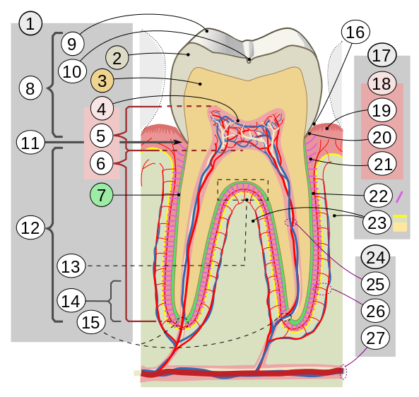 1.Diş 2.Mine 3.Dentin 4.Pulpa 7. Sement