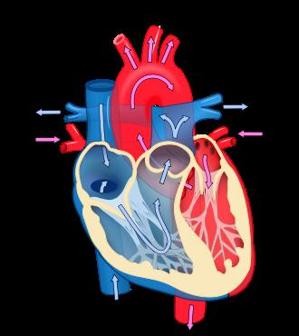 kalp kök hücresi