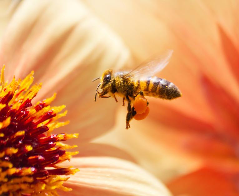 Arılar Basit Matematik İşlemleri Yapabiliyor