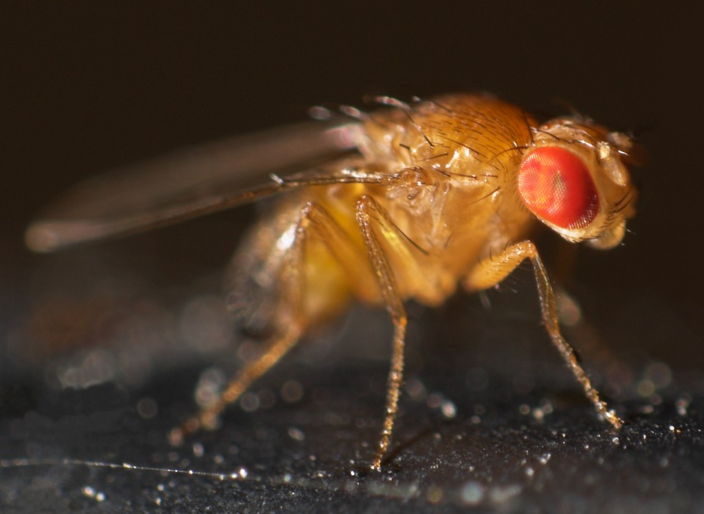 Drosophila_melanogaster (1)