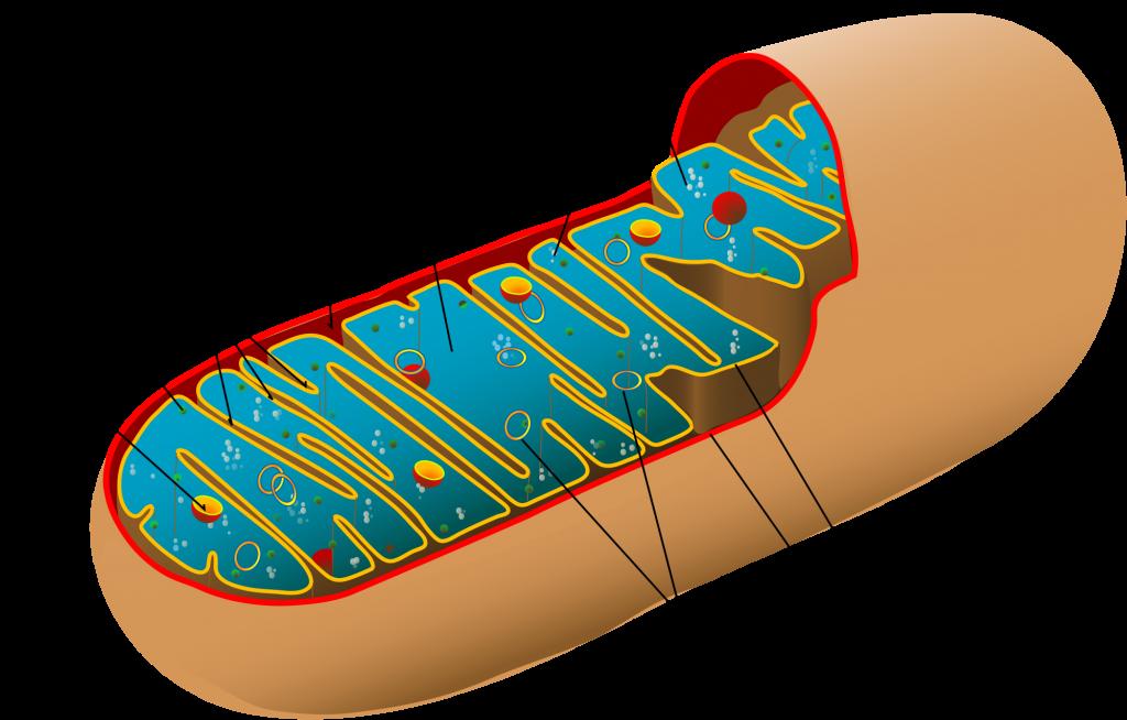mitokondri