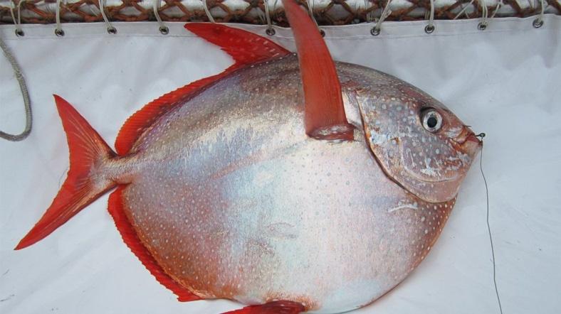 sıcakkanlı opah balığı