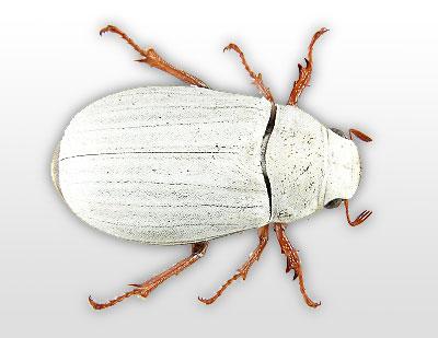 cyphochilus