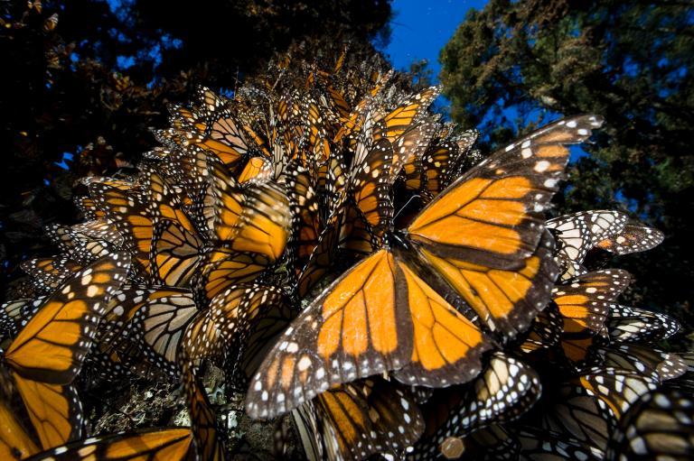 kral kelebeği