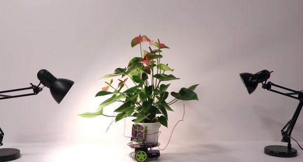 Sayborg Bitki Kendi Kendine Işığa Gidebiliyor