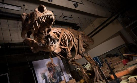 Dünyanın En Büyük T.Rex'i Rapor Edildi