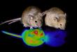 Araştırmacılar Fare Beynindeki Kış Uykusunu Tetikleyen Anahtarı Buldu